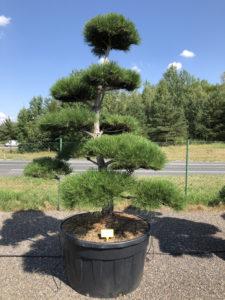 1898 - Borovice černá pravá - Pinus nigra nigra