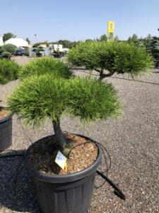 1903 - Borovice pokroucená - Pinus contorta