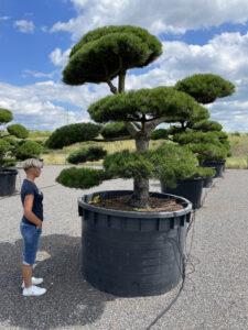 1915 - Borovice černá pravá - Pinus nigra nigra