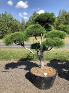 1916 - Borovice černá pravá - Pinus nigra nigra