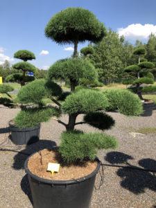 1918 - Borovice lesní - Pinus sylvestris