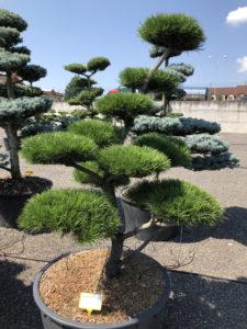 1919 - Borovice pokroucená - Pinus contorta