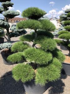 1923 - Borovice pokroucená - Pinus contorta