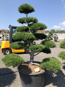1931 - Borovice černá pravá - Pinus nigra nigra