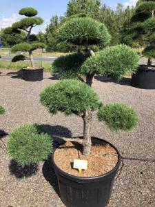1932 - Borovice lesní - Pinus sylvestris