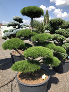 1935 - Borovice pokroucená - Pinus contorta