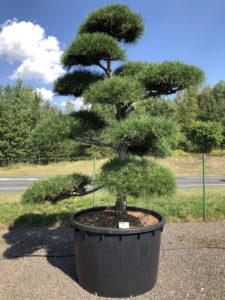 1937 - Borovice černá pravá - Pinus nigra nigra