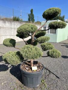 1957 - Jalovec viržinský - Juniperus virginiana 'Grey Owl'