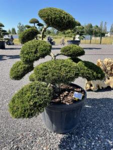 1958 - Jalovec chvojka - Juniperus sabina 'Rockery Gem'
