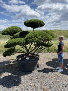 1968 - Borovice kleč - Pinus mugo mughus