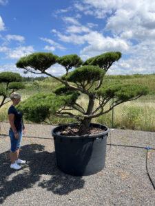 1979 - Borovice lesní - Pinus sylvestris 'Norske Typ'