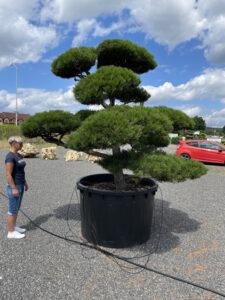 1980 - Borovice černá pravá - Pinus nigra nigra