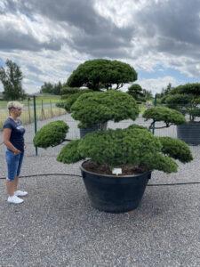 2001 - Borovice kleč - Pinus mugo mughus