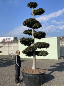 2019 - Buk lesní - Fagus sylvatica 'Atropunicea'