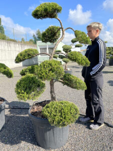 2022 - Jalovec chvojka - Juniperus sabina