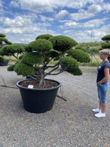 2033 - Borovice kleč - Pinus mugo mughus
