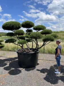 2035 - Borovice kleč - Pinus mugo