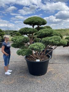2042 - Borovice lesní - Pinus sylvestris 'Watereri'