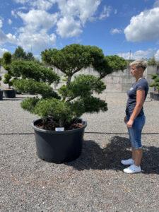 2074 - Borovice drobnokvětá - Pinus parviflora 'Glauca'