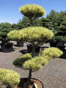 Borovice hustokvětá - Pinus densiflora 'Oculus-draconis'