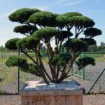 Borovice lesní - Pinus sylvestris 'Watereri'