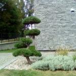 Borovice v okrasné zahradě - 1