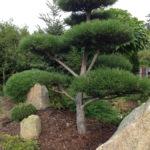 Borovice v okrasné zahradě - 3