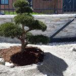 Borovice v okrasné zahradě - 4