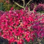 Brslen křídlatý - detail podzimních listů