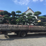 Doprava tvarovaných stromů - 10