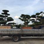 Doprava tvarovaných stromů - 15