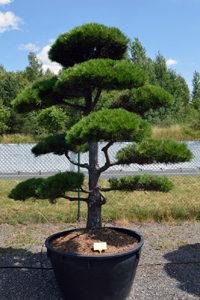 Druh okrasných stromů - borovice