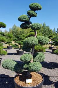 Druh okrasných stromů - jalovec