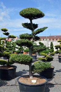 Druh okrasných stromů - jedle