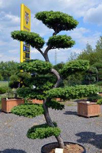 Druh okrasných stromů - modřín