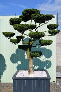 Druh okrasných stromů - zimostráz