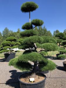 Druh tvarovaných okrasných stromů - borovice