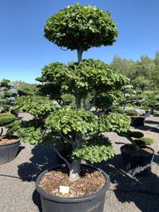 Druh tvarovaných okrasných stromů - buk