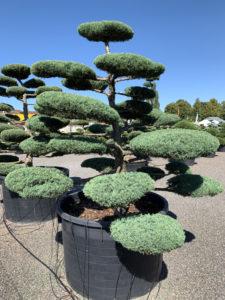 Druh tvarovaných okrasných stromů - jalovec