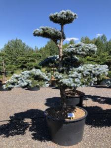 Druh tvarovaných okrasných stromů - smrk