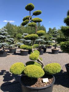 Druh tvarovaných okrasných stromů - tis