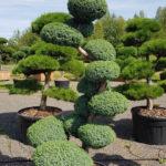 Jalovec čínský - Juniperus chin. 'Blue Alps'