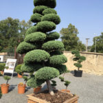Jalovec čínský - Juniperus chin. 'Monarch'
