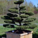 Jalovec prostřední - Juniperus media 'Hetzii'