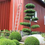 Jedle v okrasné zahradě - 1