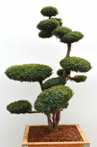 Juniperus chinensis 'Blue Alps' - jalovec čínský - 1