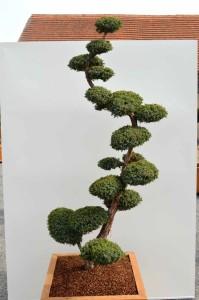 Juniperus chinensis 'Blue Alps' - jalovec čínský - 2