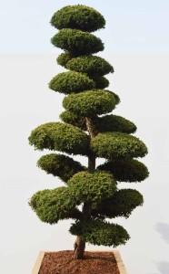 Juniperus chinensis 'Monarch' - jalovec čínský