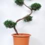 Jalovec viržinský - Juniperus virginiana 'Grey Owl'