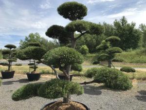 Naše zahradní bonsaje